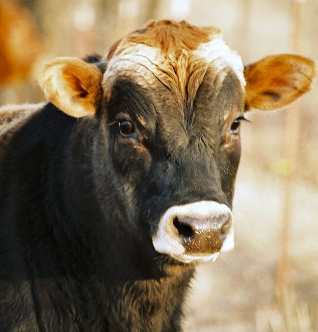 Tips on Cattle Characteristics